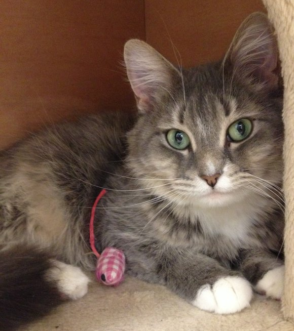 Minnie Mouse is a gentle 2 year old female medium haired cat available for adoption