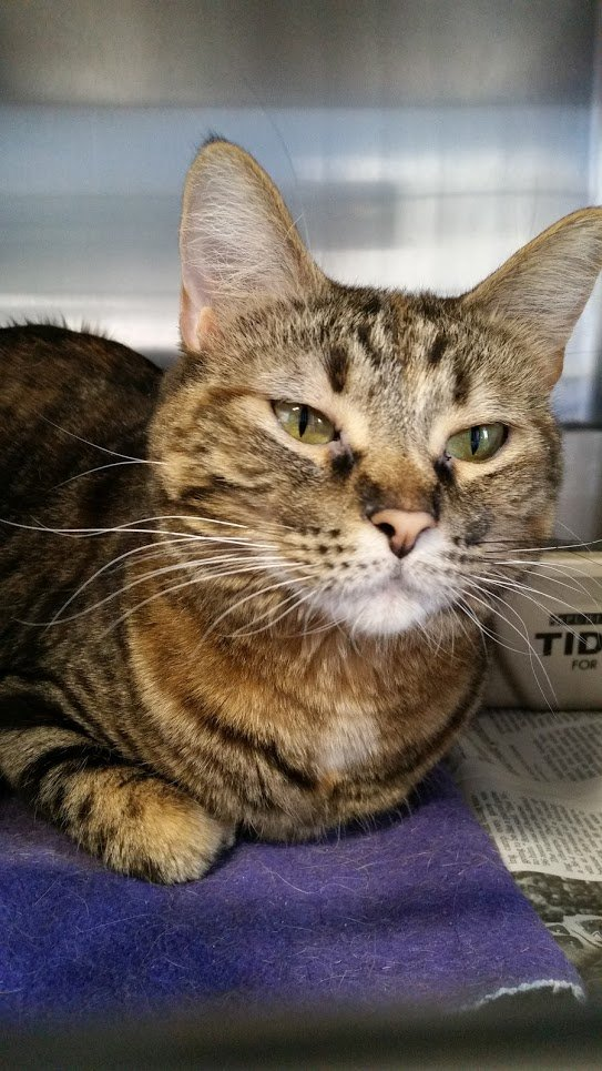FELICITY (cat): If you are looking for a feline buddy that will be your best friend, then Felicity is waiting ...