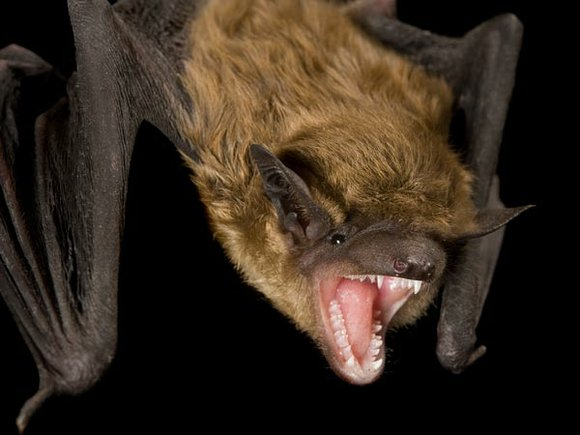 Officials in Will County are reporting a fifth rabid bat was found in Joliet last week.