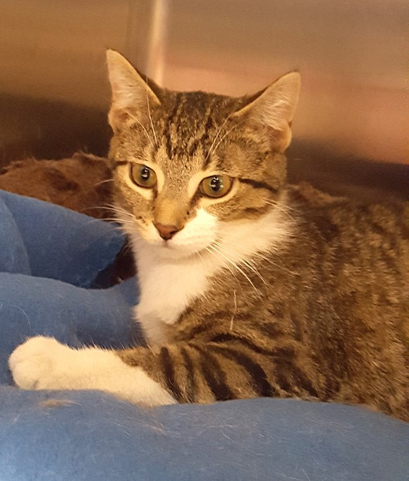 CHELSEA Could there be a sweeter cat? Chelsea just loves being held and cradled like a baby. She very much ...