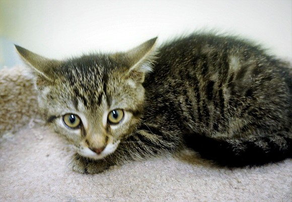 LUCY Lucy is a playful, adorable, good natured girl who plays well with her siblings. Her favorite toys are mice ...