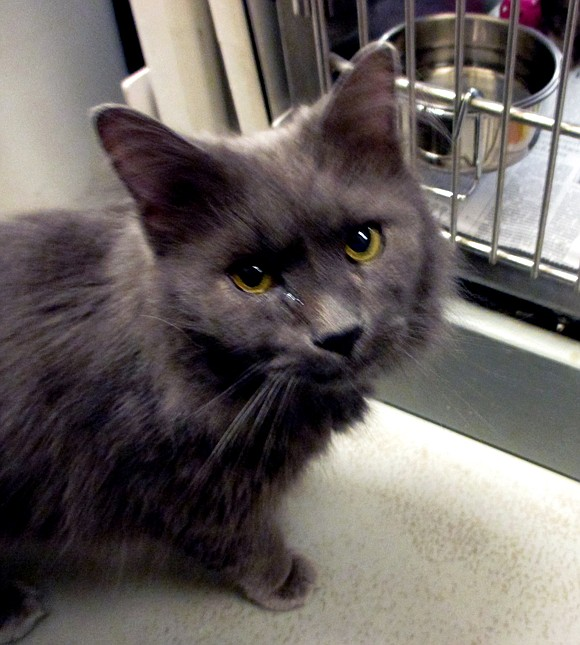 NIGEL Nigel is a sweet, friendly, laid-back cat. He is very inquisitive and likes to explore to see what's going ...