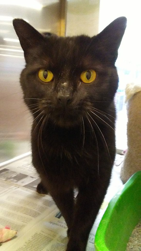 JENNIPURR (cat) Jennipurr Lopez is quite a friendly and sweet little girl. Her silky fur just shines as does her ...
