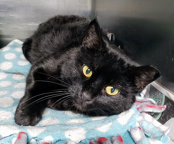 CLEOCATRA Cleocatra is a very sweet, affectionate girl who enjoys lots of attention and being petted, especially around her head ...