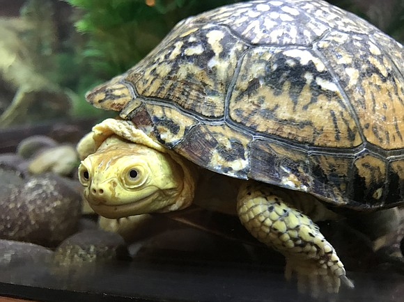 """Romeoville - """"Turtles Rock,"""" 6:30-7:30 p.m. Thursday, May 23, at Isle a la Cache Museum. Celebrate World Turtle Day by ..."""