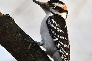 """Find out which woodpecker species call Will County home during the Forest Preserve District of Will County's """"Wild About Woodpeckers"""" Zoom webinar on April 21. Register on the Event Calendar at ReconnectWithNature.org. (Photo by Forest Preserve staff 
