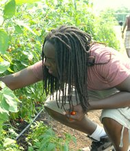 "Seventeen ninth and tenth grade students from five Baltimore City public schools participated in the ""Mission Thrive Summer"" program created by the Institute for Integrative Health and Real Food Farm, two local non-proftit organizations. (Above) Joey Payne, 15, picks cherry tomatoes from the garden."