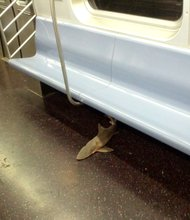 Commuters encountered an unexpected passenger when they boarded a New York City subway train early Wednesday, August 7. 2013,: a shark. The still wet 1-and-a-half foot shark carcass was discovered on the floor of a subway car at around midnight in downtown Manhattan. After several stops, an MTA official entered the train at Queensboro Plaza, cleared it of passengers, and locked its doors. The shark was removed later that night and disposed of.