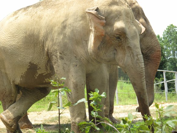 More than 80 elephants in Zimbabwe have been poisoned with cyanide -- the latest victims of poachers keen to feed ...