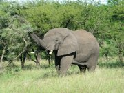 More than 2,000 elephants live in the Serengeti National Park in Tanzania.