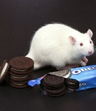 Students and a professor of neuroscience at Connecticut College said they have found evidence that shows Oreo cookies are just as addictive as cocaine - at least in lab rats. The study was designed to show that there is the potential for addictiveness of both high-fat and high-sugar foods, and Professor Joseph Schroeder and his students found rats had an association between the pleasure of eating Oreos and a specific environment was the same as cocaine or morphine and a specific environment.