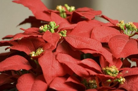The Poinsettia Tour of grand historic residential homes and buildings located in Baltimore's Reservoir Hill, Bolton Hill and Madison Park ...