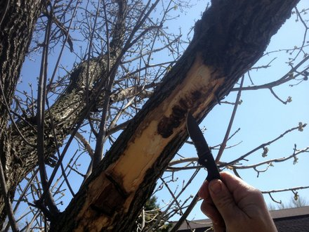 Jim Tieber pulls back the bark and shows the damage done to the limb of an Ash Tree by the Emerald Ash Borer.