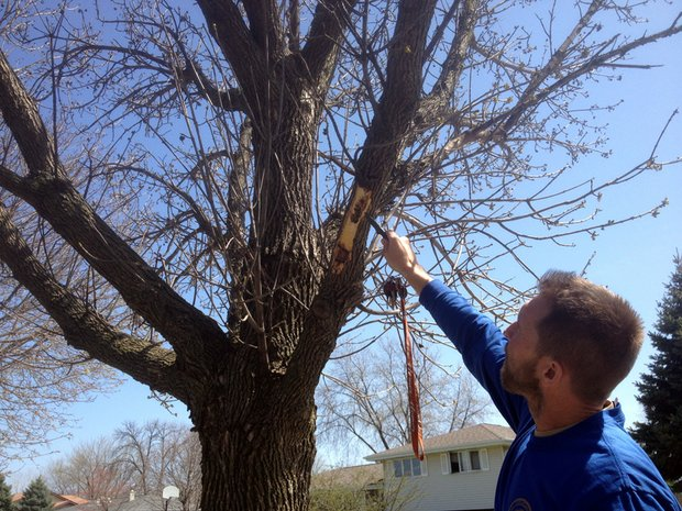 Jim Tieber, certified arborist and forester for Joliet, peels back the bark on an Ash Tree in the Grand Prairie subdivision showing the devastation done by the Emerald Ash Borer.