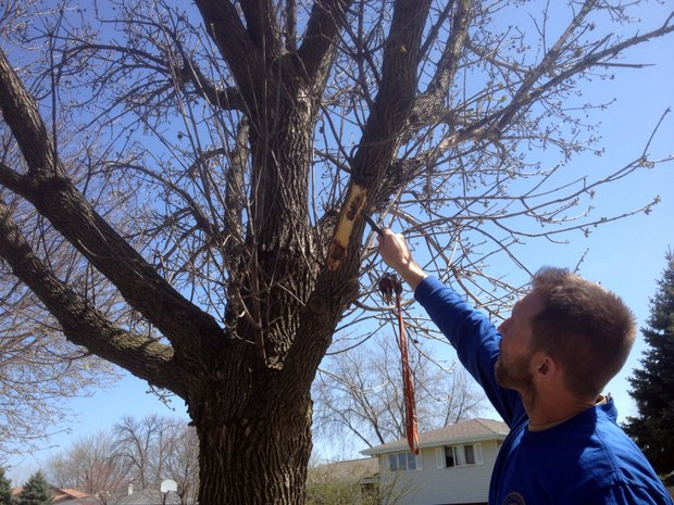 Jim Tiber, forest for the city of Joliet, cuts back a piece of bark from an Ash Tree to show the damage done by the Emerald Ash Borer.