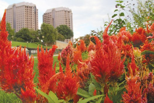Fiery celosia Downtown