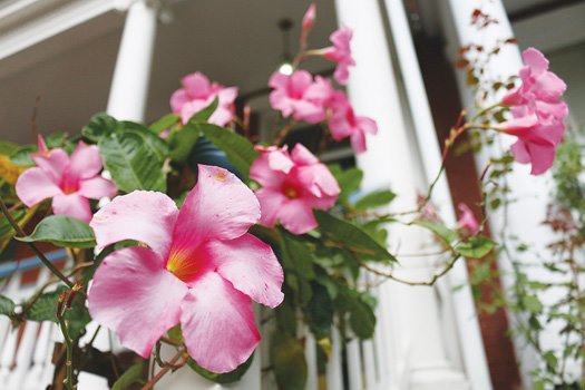 Mandevilla blooms at East End home