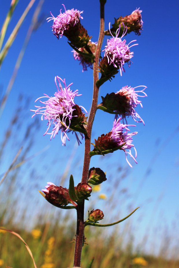 Hickory Creek Barrens Nature Preserve in New Lenox provides a haven for the largest Illinois population of the state-threatened savanna blazing star.