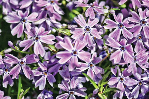 Patch of phlox blooms