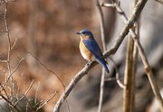 """Bluebirds will be the focus of a """"Morning Bird Hike"""" at the Forest Preserve District of Will County's Plum Creek Nature Center on July 4."""