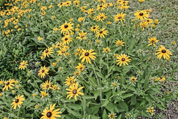 Black-eyed Susans in South Side