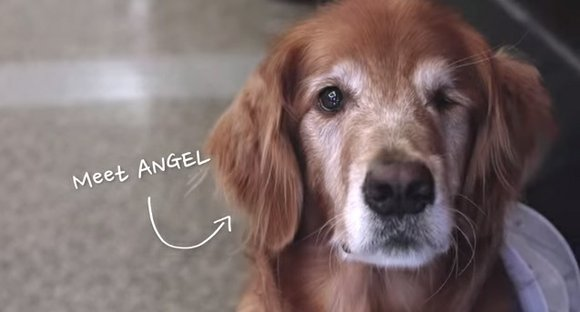 Angel, a Golden Retriever therapy dog with Faithful Paws, and frequent visitor to Memorial Hermann Southwest Hospital, was given a ...