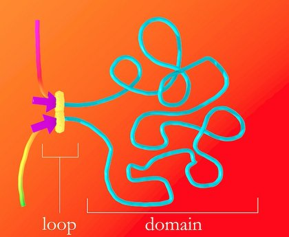 The protein complex that forms DNA loops takes up slack by feeding DNA through from either direction until it hits the DNA keyword, or motif, which acts like a brake. The motifs must point in the correct direction; if they point away from the protein complex, it will not recognize them and will keep taking up slack.
