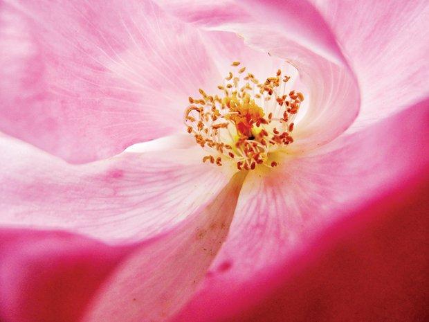 Vibrant rose in Church Hill