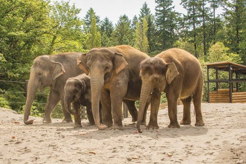 The Oregon Zoo's new 'Elephant Lands' habitat is the new visionary home for Portland's beloved elephant family. The exhibit opened Dec. 16 on time and on budget