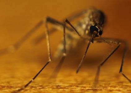 Genetically modified mosquitoes could mean curtains for the Zika virus. New U.S. cases of Zika virus infections are continually being ...