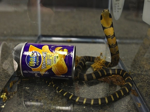 The discovery of three deadly king cobras in potato chip cans led to the arrest of a Southern California man ...