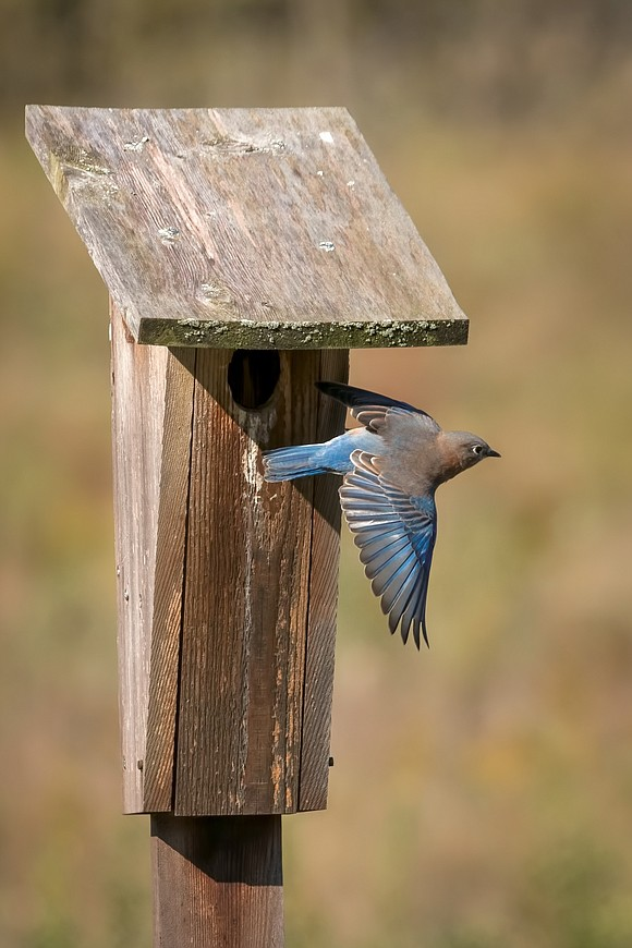 A weathered bluebird house and its fine-feathered occupant won the November portion of the Forest Preserve District's Preserve the Moment ...