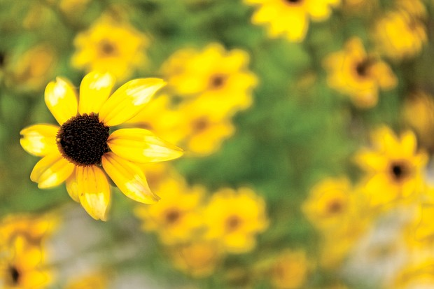 Black-eyed Susans in the East End (Sandra Sellars/Richmond Free Press)