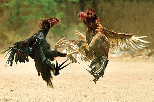 Seeking to stop illegal cockfighting while allowing bird lovers to breed and show roosters, the..