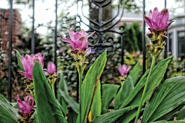Purple Siam tulips in the West End (Sandra Sellars/Richmond Free Press)