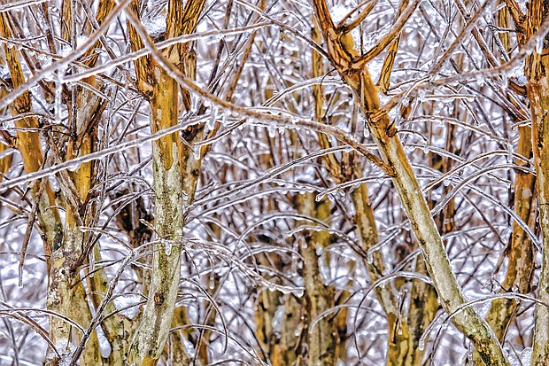 Ice-covered branches in the West End (Sandra Sellars/Richmond Free Press)