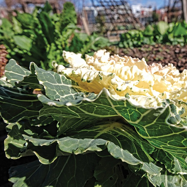 Ornamental cabbage in Chimborazo Community Garden (Sandra Sellars/Richmond Free Press)