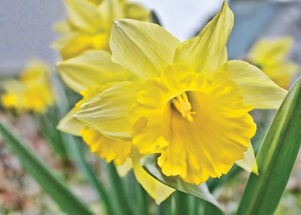 Daffodil in the West End (Sandra Sellars/Richmond Free Press)