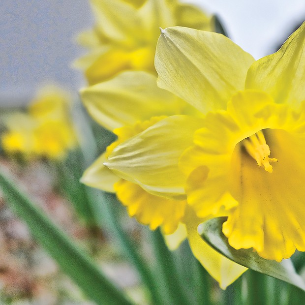 Daffodil in the West End (Sandra Sellars/Richmond Free Press)