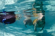 Swimming With the Manatees Photo Credit:  Carol Grant / Discover Crystal River Florida