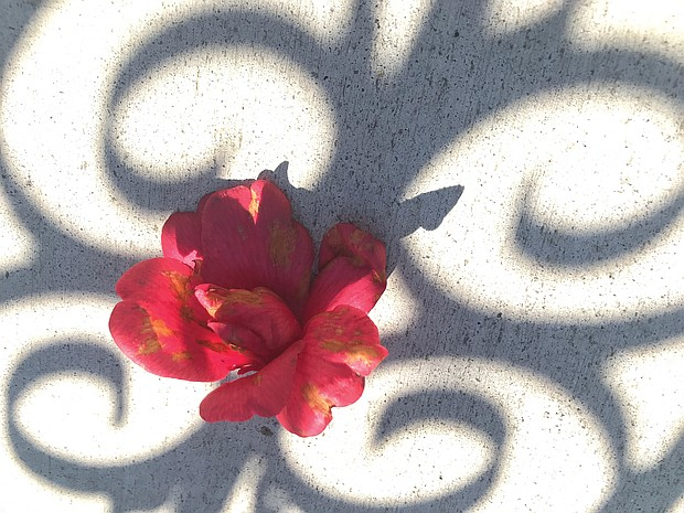 Camellia on sidewalk in West End (Sandra Sellars/Richmond Free Press)