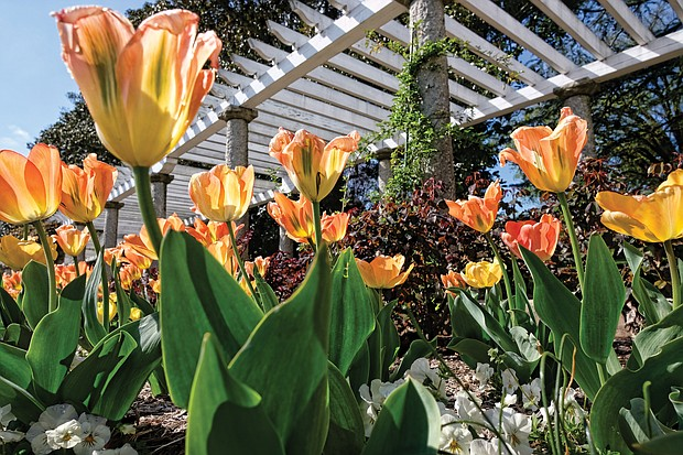 Tulips at Maymont (Sandra Sellars/Richmond Free Press)