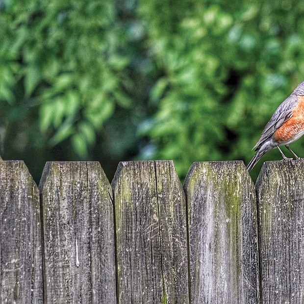 Robin on a fence in the West End (Sandra Sellars/Richmond Free Press)