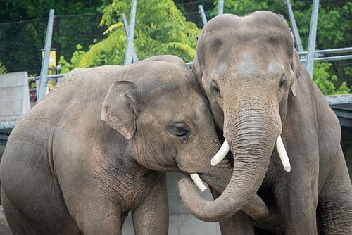 he two males have been seeing, hearing and smelling each other since Samson arrived last year from a zoo in ...