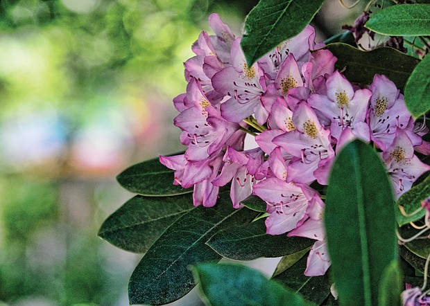 Rhododendron in the East End (Sandra Sellars/Richmond Free Press)
