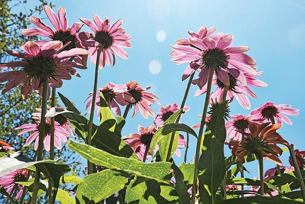 Cone flowers in North Side (Sandra Sellars/Richmond Free Press)