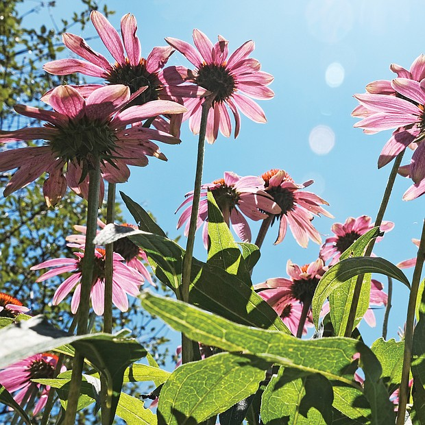 Cone flowers in North Side (Sandra Sellars/Richmond Free Press)