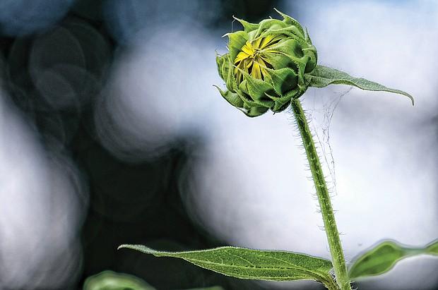 Sunflower pod in East End (Sandra Sellars/Richmond Free Press)