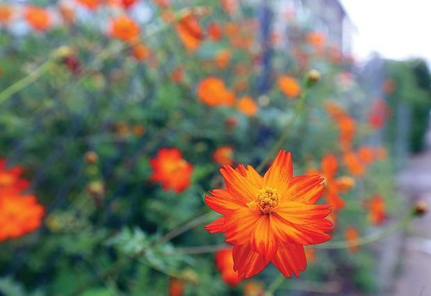 Blooms over Overbrook Road (Regina H. Boone/Richmond Free Press)