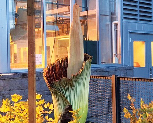 Rare Flower At Wsu Vancouver The Portland Observer